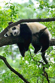 adult panda hanging around Types Of Animals, Animals Of The World, Animals And Pets, Cute Animals, Animal Fun, Panda Wallpaper Iphone, Panda Wallpapers, Panda Love, Cute Panda
