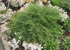 Proven Winners | Celtic Pride™ - Siberian Cypress - Microbiota decussata