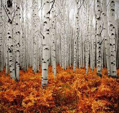 Gorgeous birch forest.