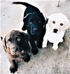 Mind Blowing Facts About Labrador Retrievers And Ideas. Amazing Facts About Labrador Retrievers And Ideas. Cute Dogs And Puppies, I Love Dogs, Doggies, Black Lab Puppies, Cutest Dogs, Adorable Puppies, Retriever Puppy, Chocolate Labrador Retriever, Chocolate Lab Puppies