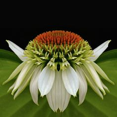 Alien Cone Flower by njk1951 on Flickr.