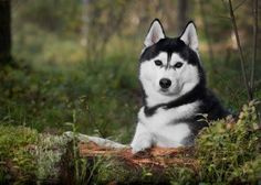 Beautiful  <3  #huskies