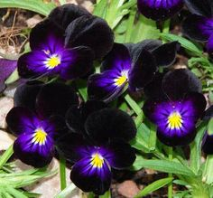 Black and blue violas*****Follow our unique garden themed boards at www.pinterest.com/earthwormtec*****Follow us on www.facebook.com/earthwormtec for great organic gardening tips