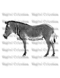 bb590e83f943c Zebra Engraving. Zebra PNG. Animal PNG. Zebra Prints. Zebra Images. Zebra  Pictures. Zebra Art. Zebra