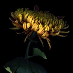 •♥• Dressed In Gold ... #Chrysanthemum by Magda Indigo (via 500px) #art