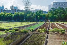 Urban agriculture in Cuba.  Absolutely fascinating.