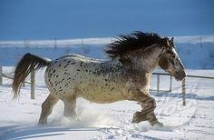 Noriker horse - walking in snow Most Beautiful Animals, Beautiful Horses, Beautiful Creatures, Noriker Horse, Appaloosa Horses, Horses In Snow, Big Horses, Westerns, Horse Therapy