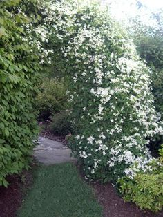 SAC has a tendency to be invasive with its self seeding habits from Zone 5 to Zone Great growing tips in the article and specific growing and pruning questions answered in the comments. Excellent resource for growing Sweet Autumn Clematis. Landscaping Inspiration, Sweet Autumn Clematis, Autumn Clematis, Plants, Garden, Cottage Garden, Dream Garden, Flowers, Garden Compost