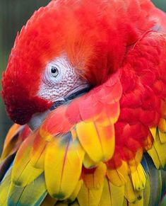 Lost in these colors!  The brilliant scarlet macaw  by @fizzylina! #costaricaexperts #costarica #scarletmacaw