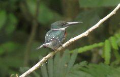 Green Costa Rican Birds