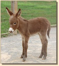 This thing is just adorable even tho it is one of those freaky mini animals . . . .Miniature donkey Rocket