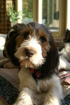 Petit Basset Griffon Vendeen http://www.animalplanet.com/breed-selector/dog-breeds/hound/petit-basset-griffon-vendeen.html