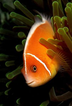 Clown Fish and Anenome