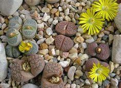 Potomac Banks Pack of 50 Cactus Succulents Seeds, Lithops (Living Stone) Species Mix, Small. Drought Resistant Plants, Plants, Drought, Low Water Plants, Cactus And Succulents, Succulent Seeds, Living Stone Plant, Planting Succulents, Stone Plant