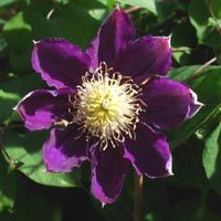 Clematis Pacific Cup