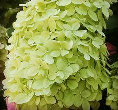 Hortensia Lime