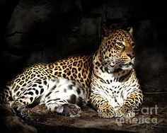 What an outstanding photograph, Tessa, of the beautiful leopard at the Houston Zoo- magnificent markings!!