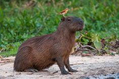 Capybara and Friend