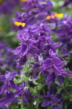 Buy annual clary Salvia viridis 'Blue': Delivery by Crocus.co.uk