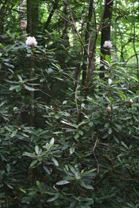 Rhododendron maximum -- 5-15 ft, open. refers moist, well-drained, acid soil; shade pro- tection; and cool sites. Flowers are rose, purplish pink, to white in June. Streamside native.