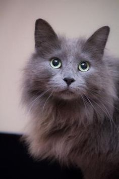 Rescue me! Frank, a Norwegian Forest Cat/Maine Coon mix in Chicago. Look at that face!