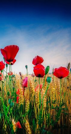 Image via We Heart It #flowers #poppies