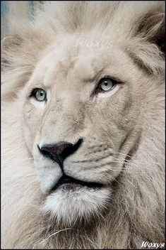 white lion   Haldir, the white lion. by woxys on deviantART