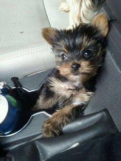 The many things we love about the Feisty Yorkshire Terrier Puppy Baby Yorkie, Puppies And Kitties, Yorkie Puppy, Cute Puppies, Cute Dogs, Teacup Yorkie, Rescue Puppies, Yorky Terrier, Terrier Dogs