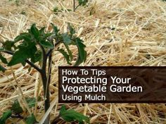 How To Tips On Protecting Your Vegetable Garden Using Mulch