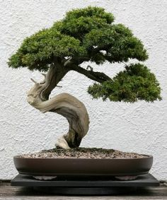 Bonsai- my husbands passion