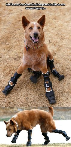 A dog with 4 prosthetic legs. The wonders of science always surprise me with all new innovations. How great for this dog to be able to walk now.