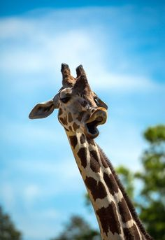 This was one funny giraffe. Super Cute Animals, Cute Little Animals, Cute Funny Animals, Cute Animal Photos, Animal Pictures, Cute Pictures, Beautiful Creatures, Animals Beautiful, Giraffe Pictures