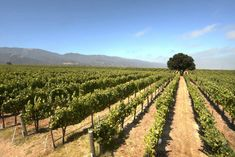 Get the most out of your Monterey wine country visit. Visit the 8 Best Monterey Wineries in 2017 and discover what makes this wine region special. Monterey Ca, Monterey County, Visit California, California Travel, California Wedding, Santa Lucia Highlands, Wine Club Membership, Wine Vineyards, In Vino Veritas