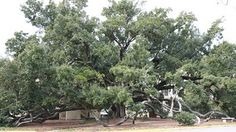 The Friendship Tree, Long Beach, MS  over 500 years old.   Anyone that walks beneath it will be friends forever.