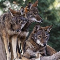 Red wolf (Canis rufus) siblings by Wes and Dotty Weber Wolf Spirit, Spirit Animal, Beautiful Creatures, Animals Beautiful, Tier Wolf, Animals And Pets, Cute Animals, Wild Animals, Malamute