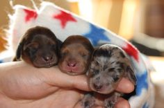 Dachshund puppies! Omg so little!