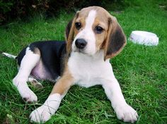 Seriously obsessed with any beagle! The best dogs around