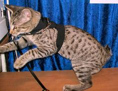 Pet Harness Tute yes, you need a tutorial to get this on!!