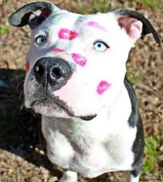 Blue eyed pittie with pink kisses