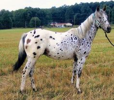 This horse has interesting appaloosa coloring, with light rings, or halos, around its spots.