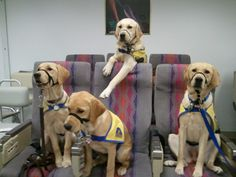 Canine Companions for Independence dogs in training.....at Craig hospital in Denver