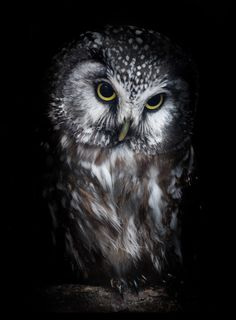Another owl left the colour in this one as its eyes were amazing, and stood out better in colour. Beautiful Owl, Animals Beautiful, Cute Animals, Beautiful Pictures, Owl Photos, Owl Pictures, Owl Bird, Snowy Owl, Pretty Birds