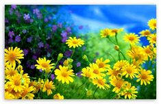 Yellow Flowers Ultra HD Desktop Background Wallpaper for UHD TV : Widescreen & UltraWide Desktop & Laptop : Tablet : Smartphone Amazing Flowers, Yellow Flowers, Spring Flowers, Beautiful Flowers, Field Wallpaper, Hd Wallpaper, Daisy Love, Pretty Pictures, Photos