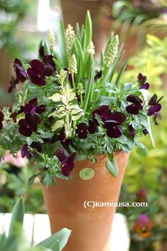 Affordable And Effective Cottage Garden Designing Methods For Your Home Your home is your world, and much like the world around us, looks are important. Shade Plants Container, Container Flowers, Container Gardening, Cottage Garden Plants, Garden Planters, Petunia, Pot Plante, Foliage Plants, Green Flowers