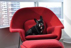 Eero Saarinen's womb chair is comfortable for everyone, pups included!