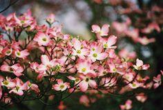 Gorgeous pink dogwoods