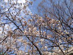 2014.3.29 尼崎市スポーツセンターの桜