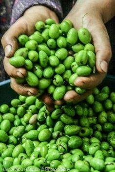 Palestinian Olive