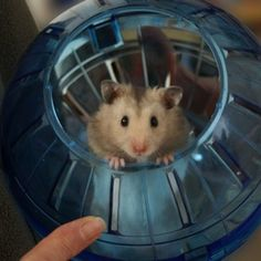 A hamster in a hamster ball.