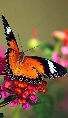 Butterfly Beautiful gorgeous & pretty flowers